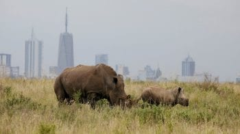 Wild animals losing freedom to roam as city encroaches on Nairobi park