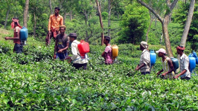 Darjeeling tea planters hope for a better season this year