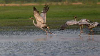 Sarus Crane: In pursuit of the six-foot wonder