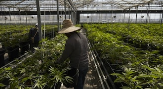 California flower town wrestles with odor amid shift to pot