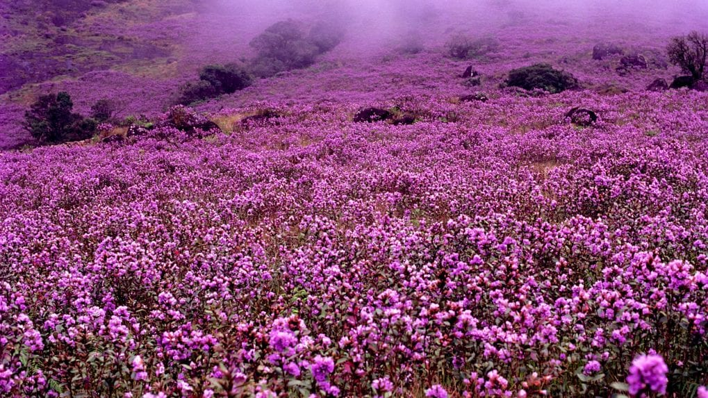 Kerala's Munnar will be covered with a flower that blooms once in 12 years