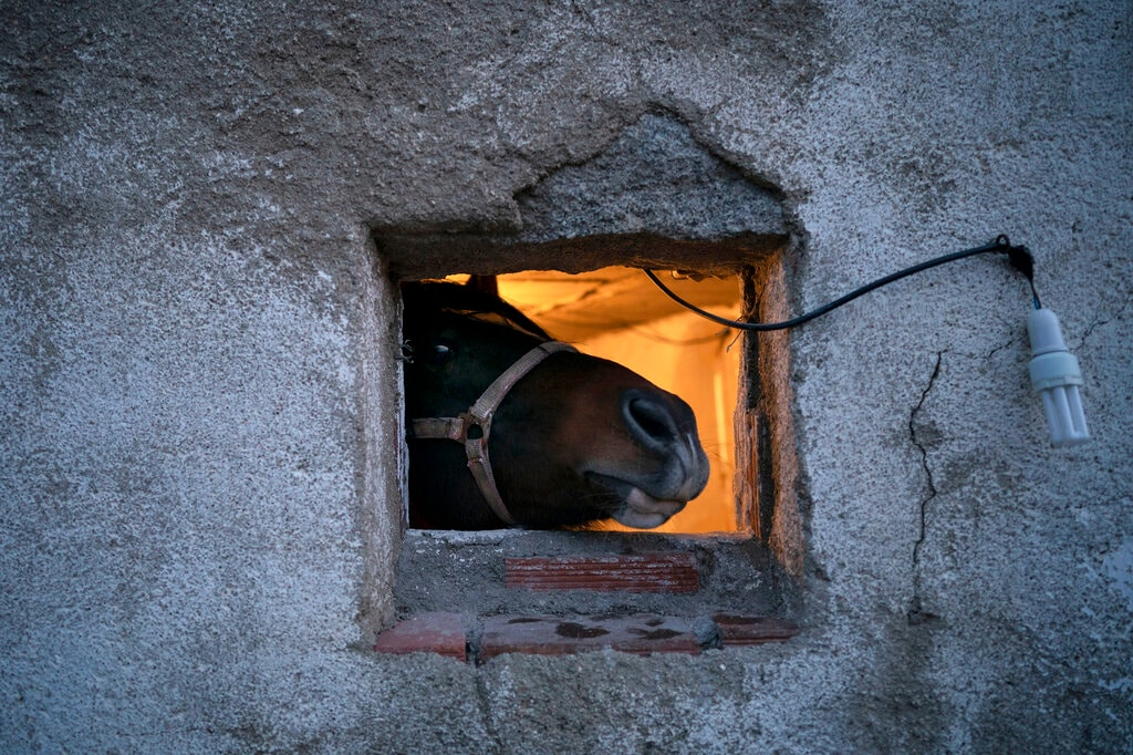 A horse looks out of a small window before the ritual in honor of Saint Anthony the Abbot, the patron saint of domestic animals, in San Bartolome de Pinares, Spain, Wednesday, Jan. 16, 2019. On the eve of Saint Anthony's Day, dozens ride their horses through the narrow cobblestone streets of the small village of San Bartolome during the