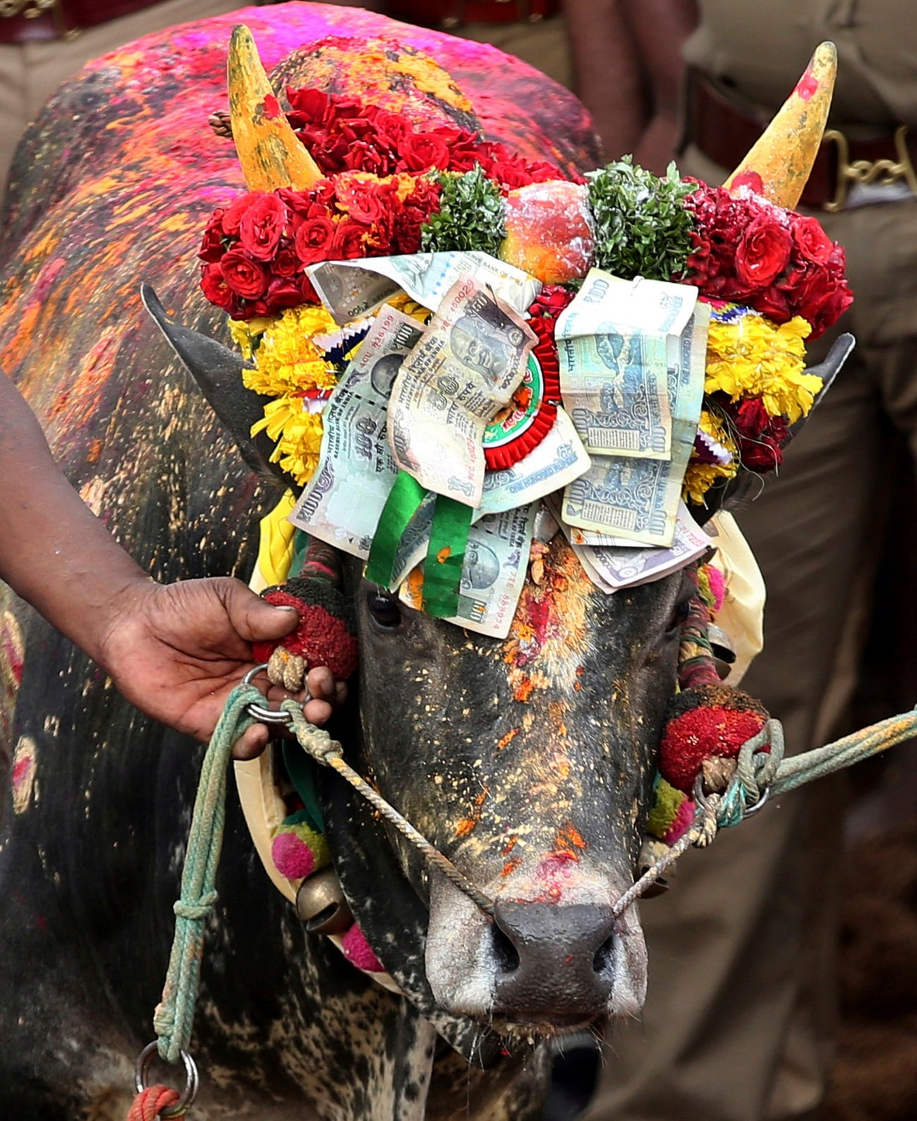 A bull is decorated with currency notes before taking part in the rituals. (AP Photo/Aijaz Rahi)