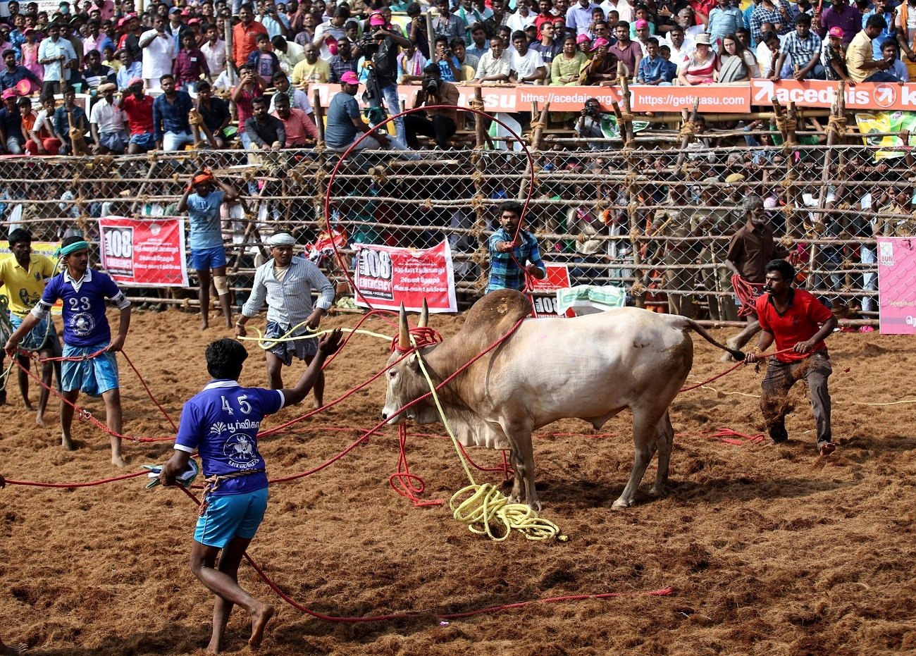 Owners and others use ropes to control a bull.  (AP Photo/Aijaz Rahi)