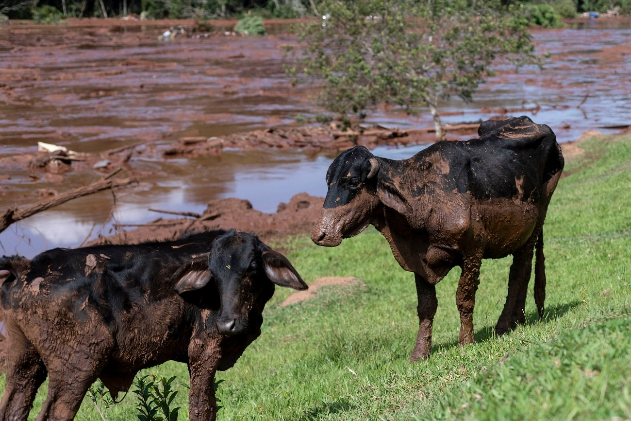 Cattle are covered by mining debris after a mine collapsed near Brumadinho. (Leo Drumond/Nitro via AP)