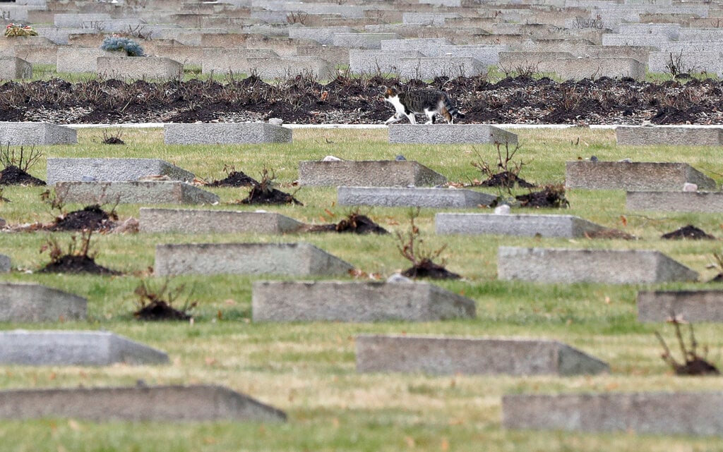 A cat walks through the cemetery of the former Nazi concentration camp in Terezin, Czech Republic, Thursday, January 24, 2019. (AP Photo/Petr David Josek)