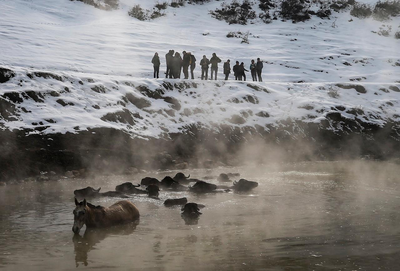 Residents of the village with some 60 homes walk hundreds of buffaloes up snow-covered roads to the geothermal springs in the winter.  (AP Photo/Emrah Gurel)