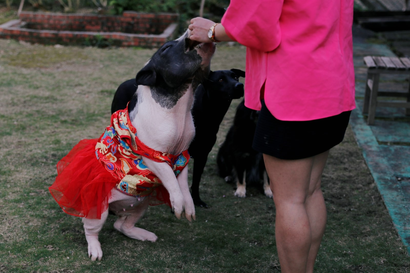 Sin Sin, a 4 years-old pet pig, which has been abandoned before, stands up on two legs for food at her owner Anita Chen's backyard, in Taipei, Taiwan January 28, 2019. REUTERS/Tyrone Siu