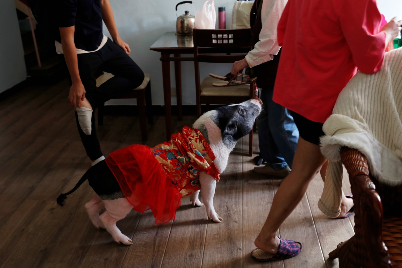 Sin Sin, a 4 years-old pet pig, which has been abandoned before, looks for food at her owner Anita Chen's house, in Taipei, Taiwan January 28, 2019. REUTERS/Tyrone Siu