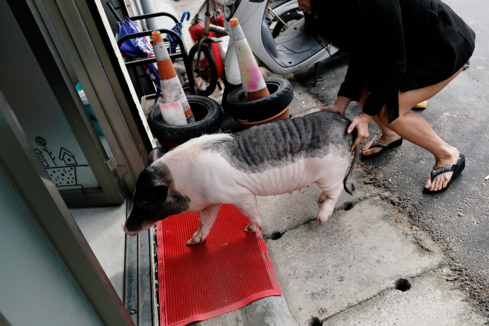 Ge Ge, a pet pig walks into a vet clinic for health inspection, in Taoyuan, Taiwan January 29, 2019. Picture taken January 30, 2019. REUTERS/Tyrone Siu
