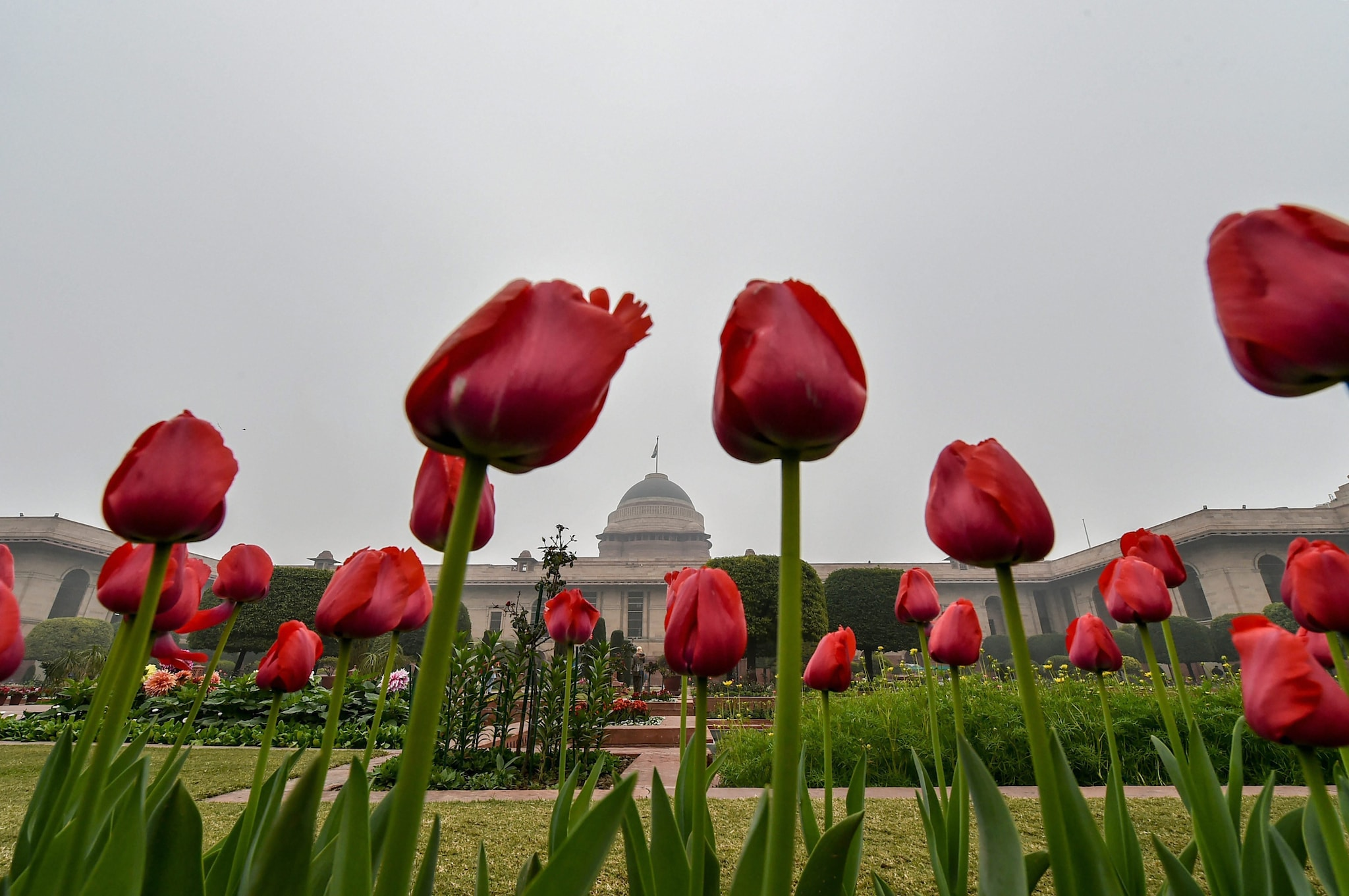 Fully bloomed tulips at the Mughal Gardens of Rashtrapati Bhavan in New Delhi, Saturday, Feb 2, 2019. The Gardens will be thrown open for the public from Feb 6 to March 10, 2019.