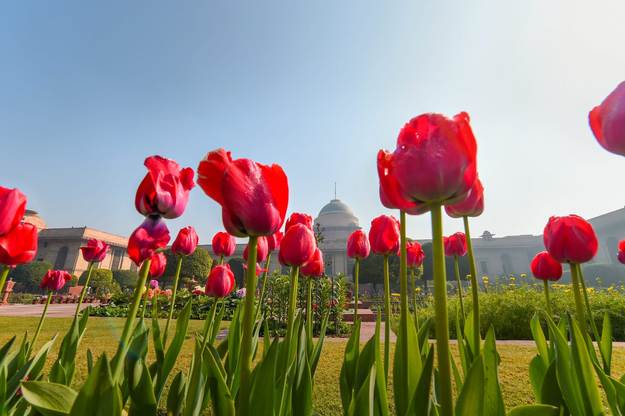 Tulips in full bloom at the Mughal Gardens of Rashtrapati Bhavan, in New Delhi, Monday, Feb. 04, 2019. The Mughal Gardens will open for the general public from Wednesday, Feb. 06 to March 10, 2019.