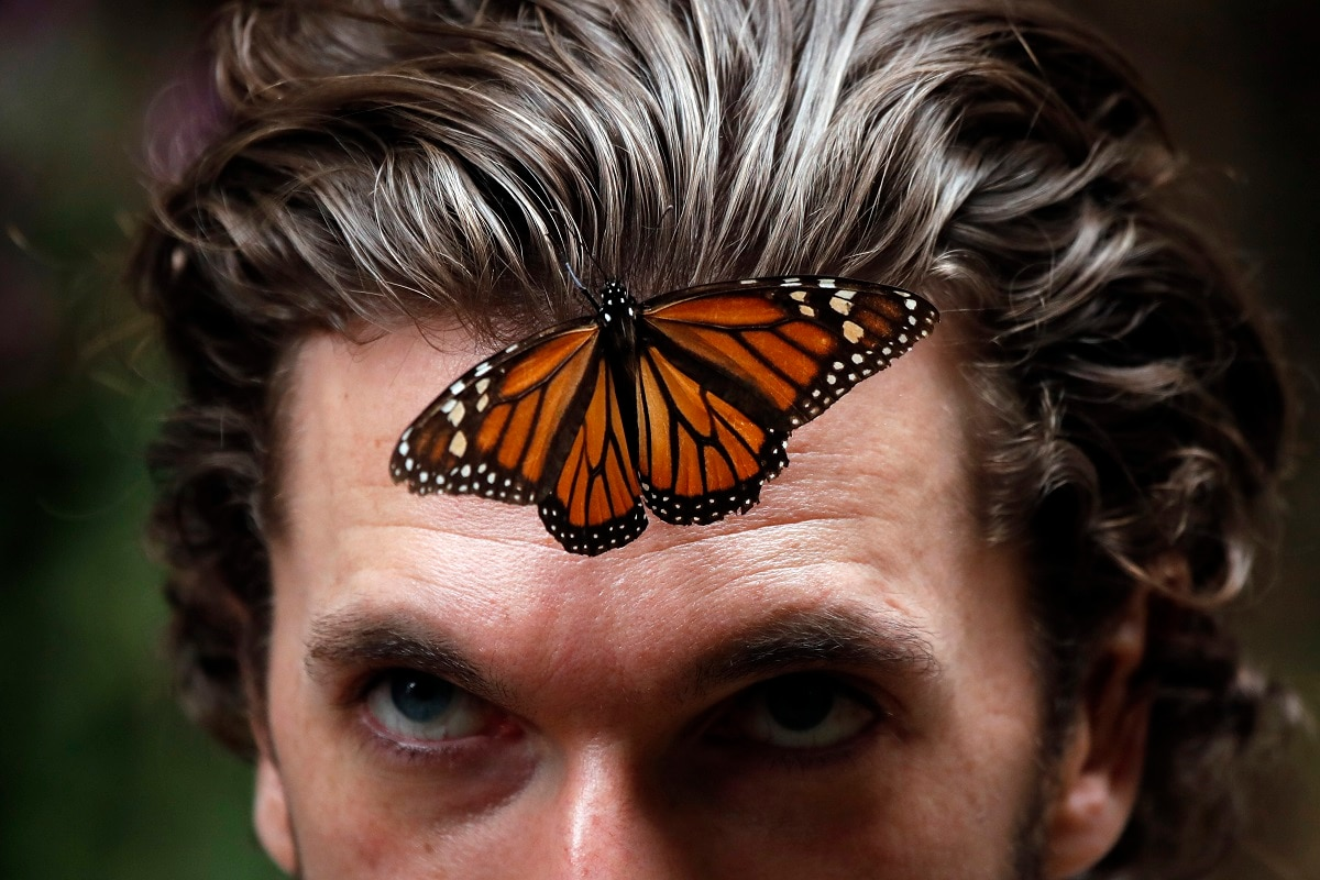 A monarch butterfly rests on a man's forehead at the Amanalco de Becerra sanctuary, in the mountains near the extinct Nevado de Toluca volcano in Mexico. The monarch butterfly population, like that of other insects, fluctuates widely depending on a variety of factors, but scientists say the recoveries after each big dip tend to be smaller, suggesting an overall declining trend. (AP Photo /Marco Ugarte)