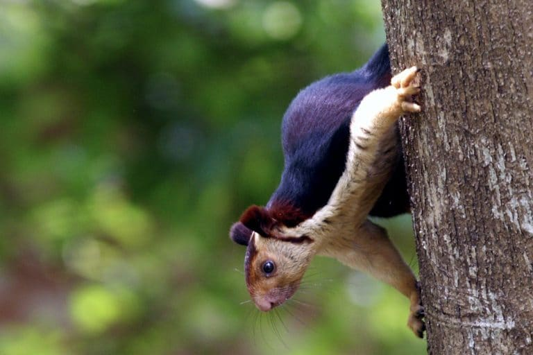 The grizzled giant squirrel struggles to survive in the face of habitat loss
