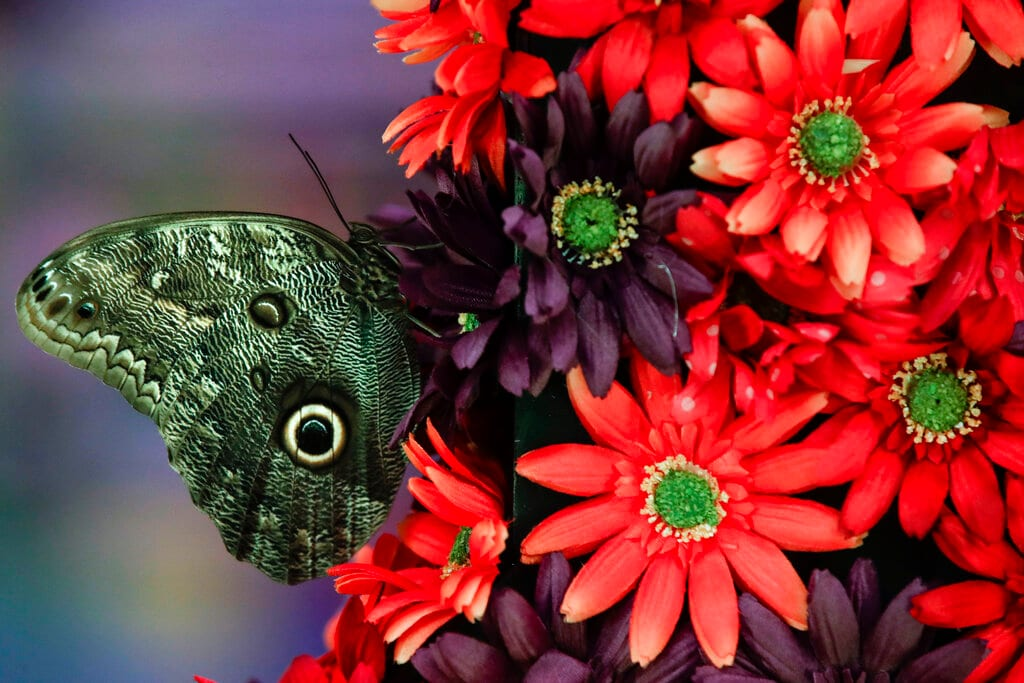 A butterfly sits upon an arrangement during a preview of the