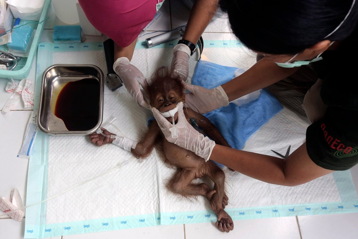 A veterinarian and a volunteer of Sumatra Orangutan Conservation Programme (SOCP) tend to a three-month-old baby orangutan named 'Brenda' that was evacuated from a village with a broken arm, prior to surgery at SOCP facility in Sibolangit, North Sumatra, Indonesia. Orangutan populations in Indonesia's Borneo and Sumatra island are facing severe threats from habitat loss, illegal logging, fires and poaching. Conservationists predicted that without immediate action, orangutans are likely to be the first great ape to become extinct in the wild. (AP Photo/Binsar Bakkara, File)