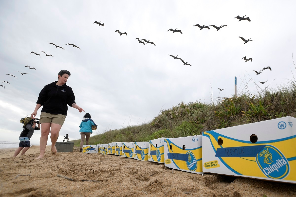 National Aquarium staff member Stehle Harris counts banana boxes containing Kemp's ridley turtles awaiting release in New Smyrna Beach, Florida. (AP Photo/Phelan M. Ebenhack)