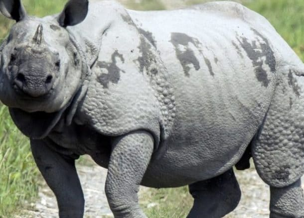Assam's rhino habitat overtaken by invasives