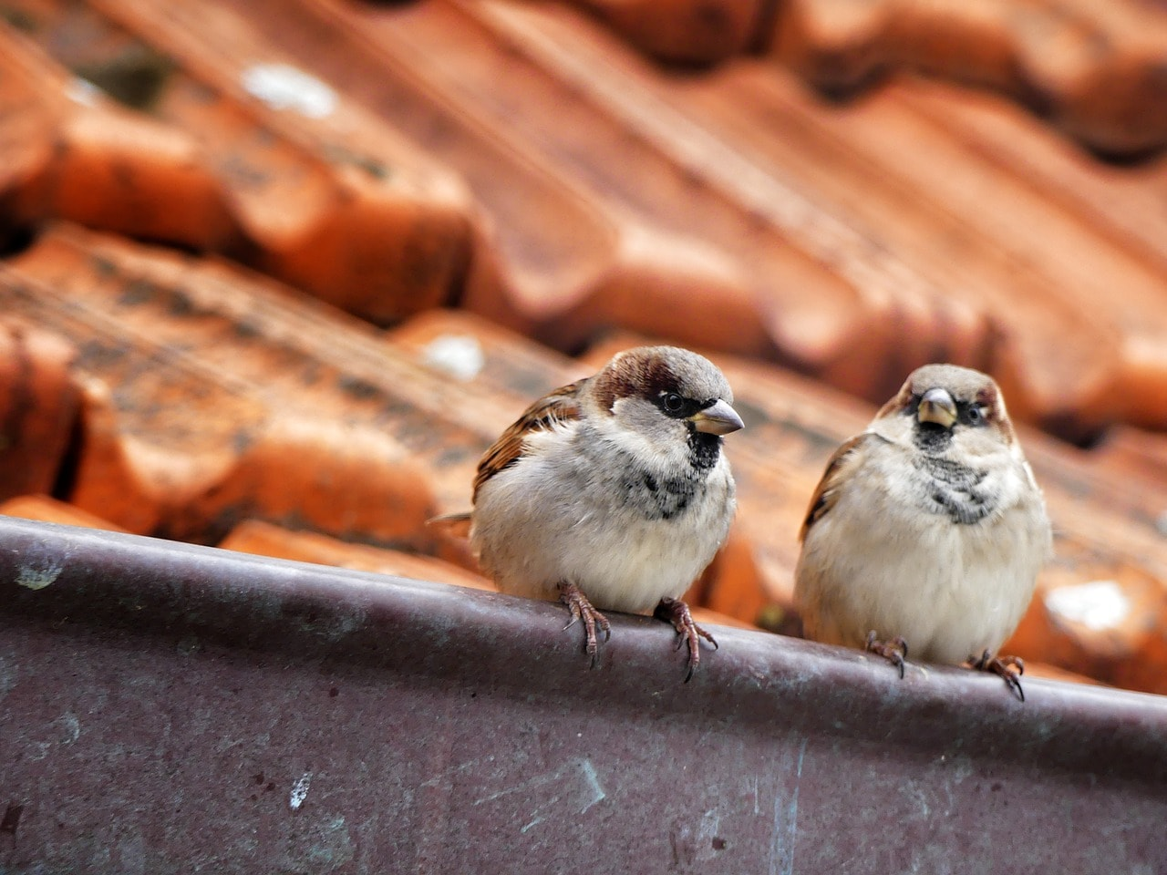 The house sparrow is monogamous, and mates for life. (Image: Pixabay)