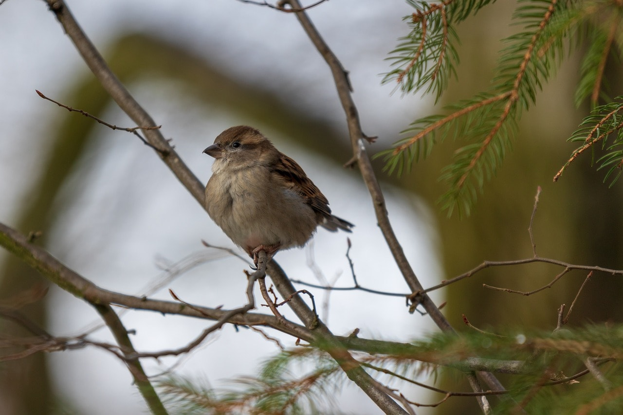 Over 40 percent adult sparrows die each year and 60 percent of these birds have decreased in clusters. (Image: Pixabay)