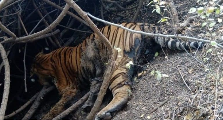 Tiger dead: The big cat that walked from MP to Gujarat dies mysteriously