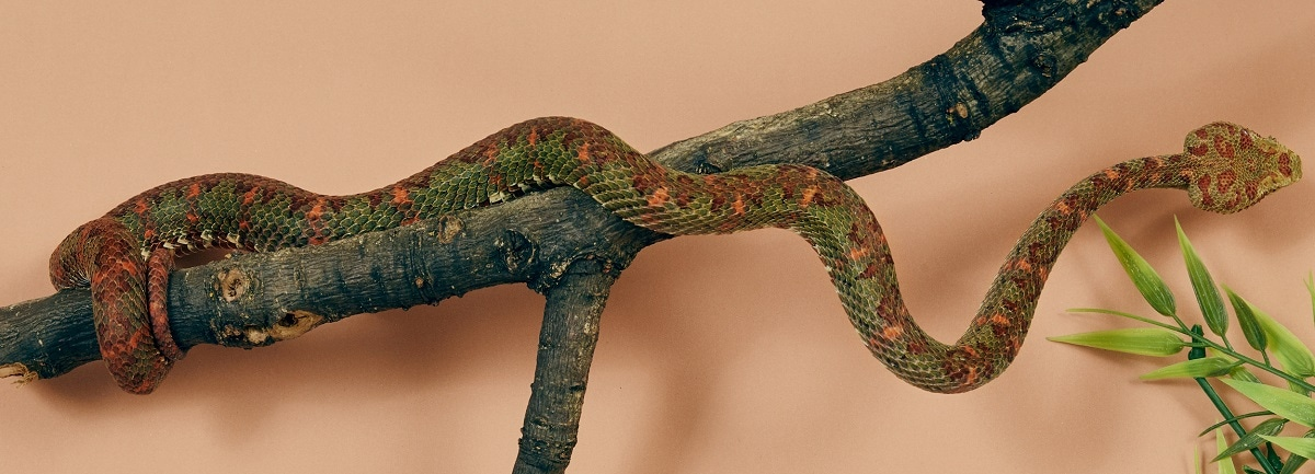 A snake is seen at Liverpool School of Tropical Medicine. Nick Ballon/Wellcome/via REUTERS