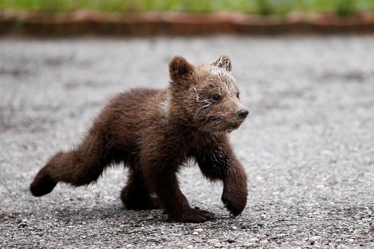 Orphaned baby bear named