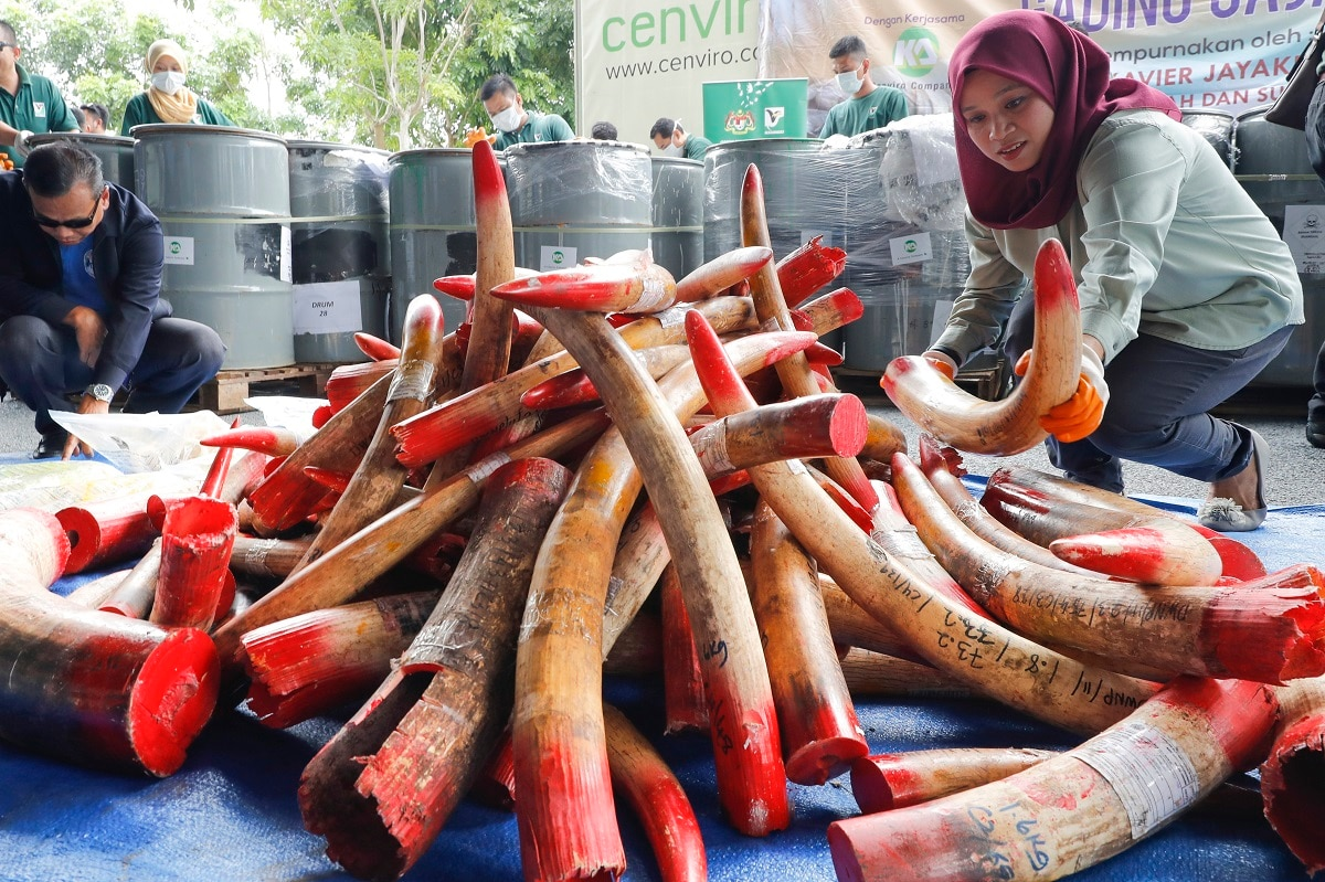 Staff at a government waste management facility arranges seized ivory tusks before destroying them, outside Seremban, Malaysia. Malaysia has destroyed nearly four tons of elephant tusks and ivory products as part of its fight against the illegal ivory trade. (AP Photo/Vincent Thian)