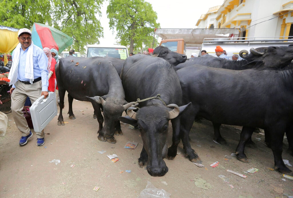 An election officer carries his assigned electronic voting machine and walks past a herd of buffaloes before proceeding towards his allotted polling station on the eve of polling. (AP Photo/Rajesh Kumar Singh)