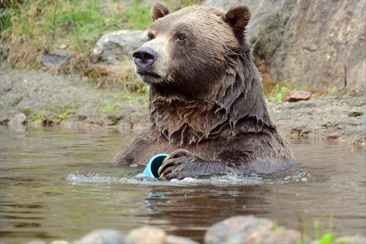 A bear takes a dip with a toy at Zoo Sauvage in Saint-Felicien. The zoo, notable for the wide open spaces turned over to its animals, is a favourite stop for cyclists circling Lac-Saint-Jean on Veloroute des Bleuets, the Blueberry Trail. (AP Photo/Cal Woodward)