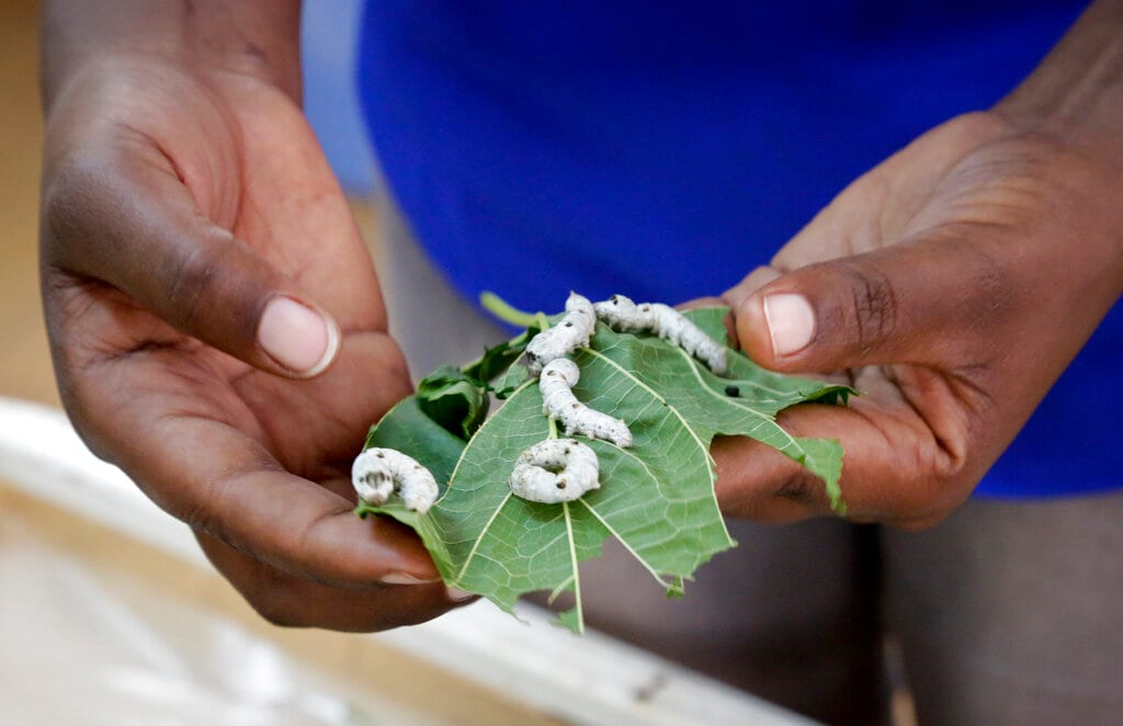 Research assistant Catherine Ndumi Musyoka holds mulberry leaves as silkworms feed on them, at the National Sericulture Research Center in Thika, Kenya. April 26, 2019 (AP Photo/Khalil Senosi)