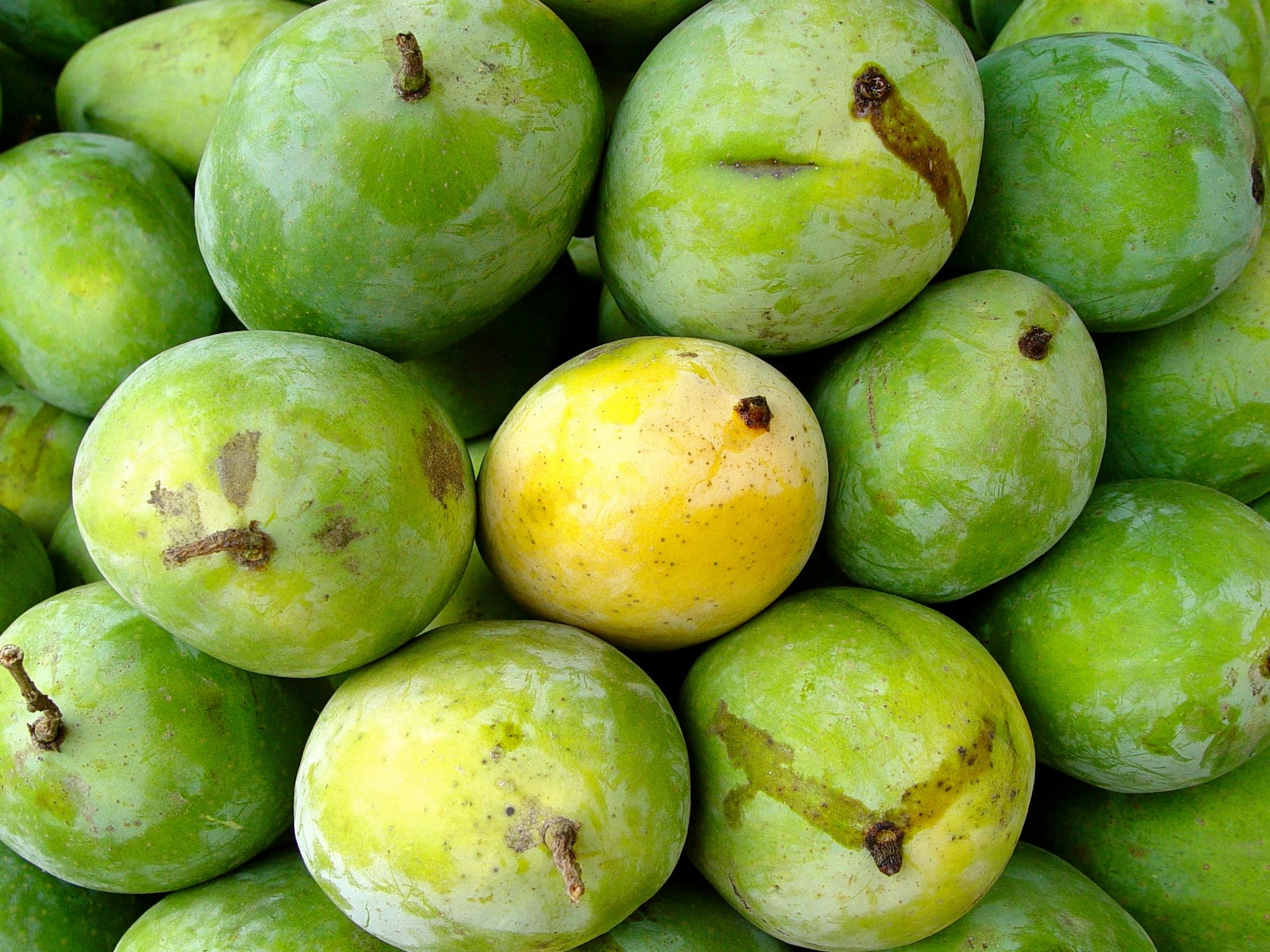 What's in a name? Though nearly 1,000 mango varieties are grown in India, very few are commercially grown; their names acquiring different names in different regions. For example, langra (literally, lame), is name-loaded: Langarhi, Tikari (Farrukhabad, UP), David Ford, Hardil-Aziz (Bhopal), Sylhet (Meerut, UP), Ruh-e-afza, Darbhanga and Chhatpa. Dusseheri is also known as Aman, Aman Dashehari, Nirali Aman and Kamyab while Bombay Green gets varied names like Kali Bombai, Sarauli, Malda, Sheeri Dhan, Bhojpuri, Laile Alupu (source: ikisan.com) (Photographed here is the langra mango variety)