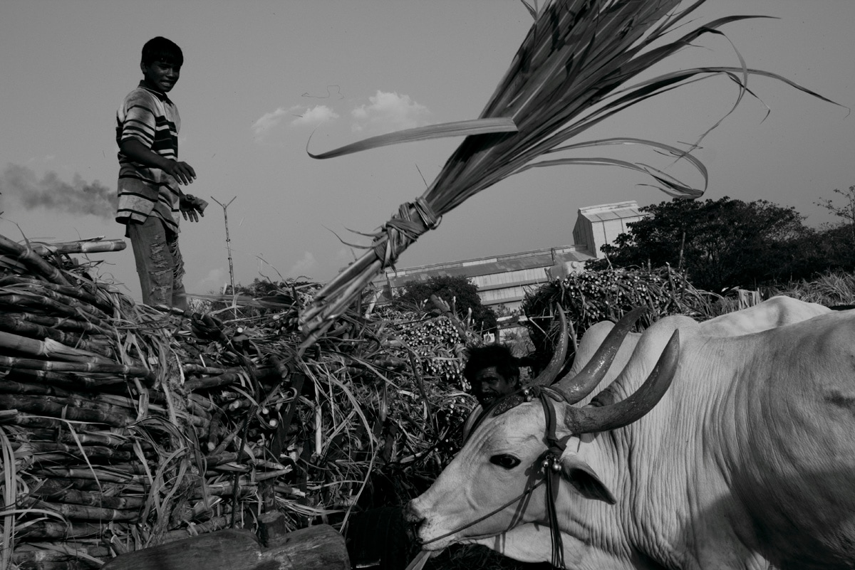 A worker transports harvested sugar cane on a bullock cart at Solapur, Maharashtra. Labour Day is celebrated on May 1 every year to commemorate the accomplishments of workers.