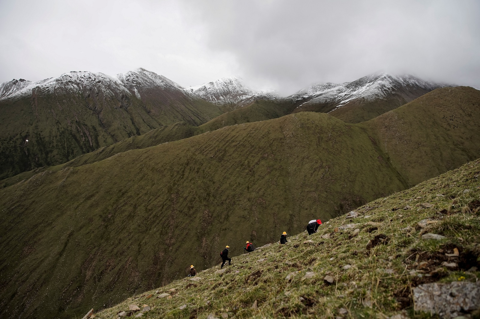 Cordyceps pickers scan the ground on a mountain to find Ophiocordyceps sinensis, a fungus believed to possess aphrodisiac and medicinal powers, in the Amne Machin range in China's western Qinghai province, June 8, 2019. Demand for the highly prized cordyceps has increased sharply in the last decade as an emerging Chinese middle class seeks it to cure everything from kidney disorders to impotence. REUTERS/Aly Song