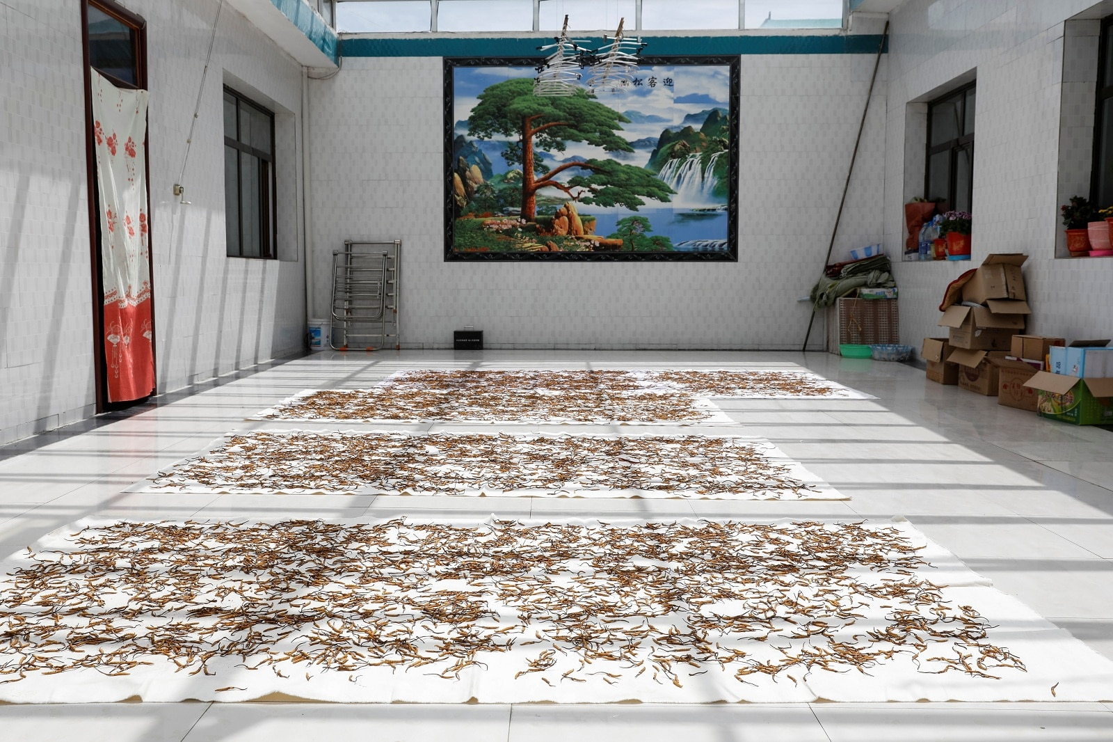 Cordyceps are laid out on cloth for drying inside a cordyceps trader's house in Hainan Tibetan Autonomous Prefecture, Qinghai province, China June 7, 2019. REUTERS/Aly Song