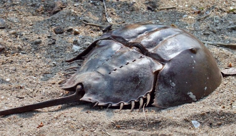 Indian research network on horseshoe crab takes wing as the living fossil battles threats