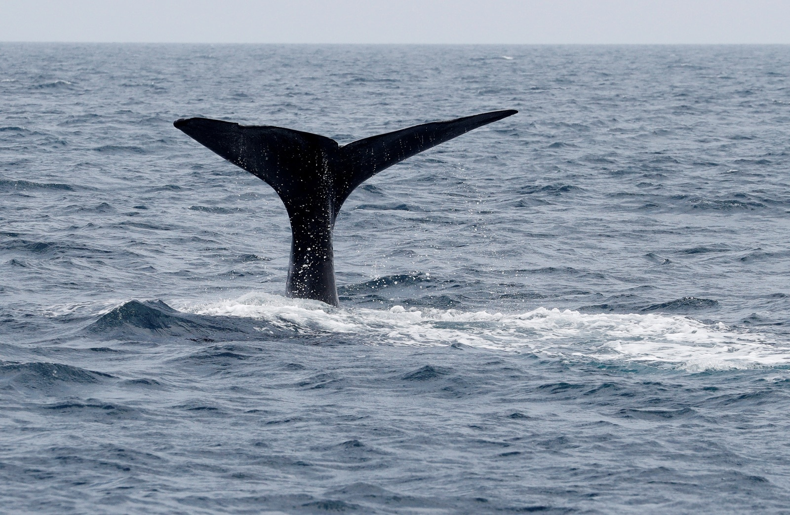 The fluke of a sperm whale sticks out of the sea as it dives in the sea near Rausu, Hokkaido, Japan, July 1, 2019. REUTERS/Kim Kyung-Hoon