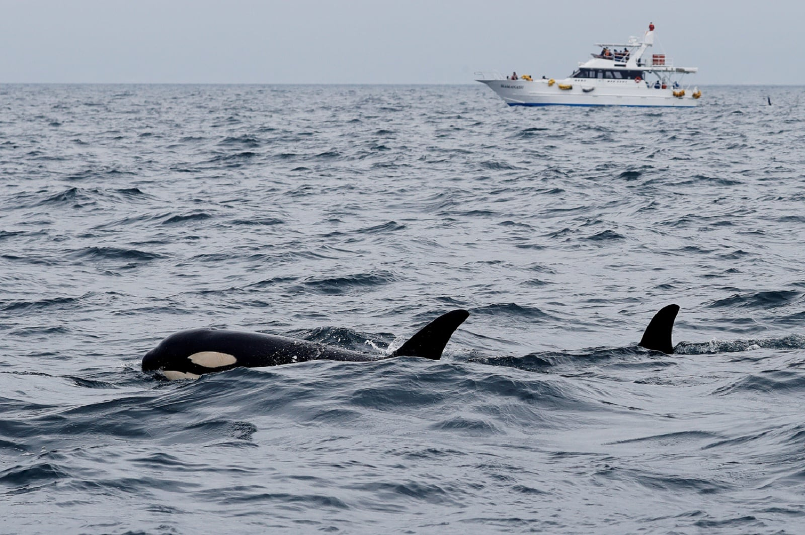 Killer whales and a whale watching tour boat are pictured in the sea near Rausu, Hokkaido, Japan, July 1, 2019. REUTERS/Kim Kyung-Hoon.