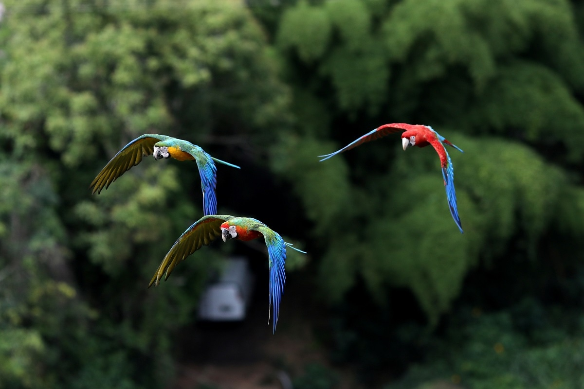 Macaws fly over the city of Caracas, Venezuela. Long described as a bright spot in a city that has been in decline for years, Caracas' macaws have become a mechanism of escape from the daily grind of finding potable water, struggling with collapsing internet and avoiding crime-ridden streets. REUTERS/Manaure Quintero