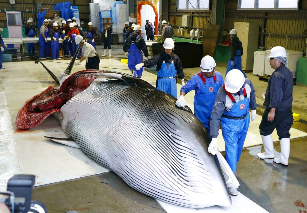 A whale is brought to shore to be processed in Kushiro, in the northernmost main island of Hokkaido, Monday, July 1, 2019. Japan is resuming commercial whaling after 31 years, meeting a long-cherished goal seen as a largely lost cause. Japan's six-month notice to withdraw from the International Whaling Commission took effect Sunday. (Masanori Takei/Kyodo News via AP)