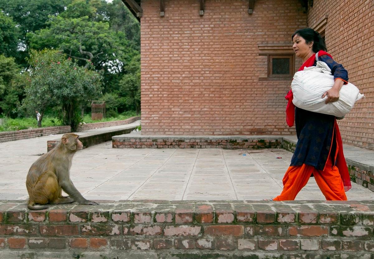 Some 300 monkeys eagerly await their pieces of roti or flatbread every day. (AP Photo/Niranjan Shrestha)