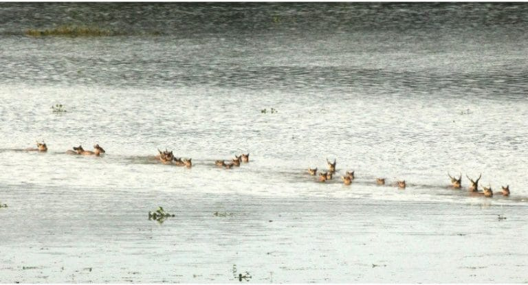 Wildlife and people during Assam's annual tryst with floods