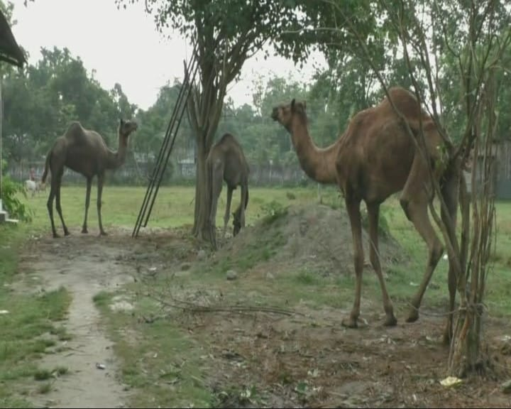 In Assam, 5 camels await court order to return home to Rajasthan