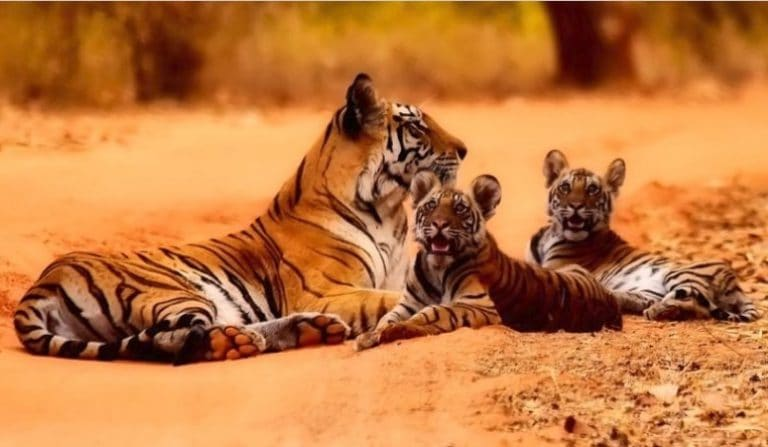 Save tiger reserves and reap trillions in economic benefits, says report