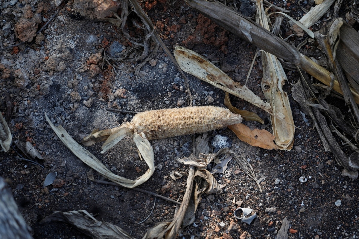 Corn is seen in a burnt forest Menabe Antimena protected area near the city of Morondava, Madagascar, September 2, 2019. REUTERS/Baz Ratner/Files