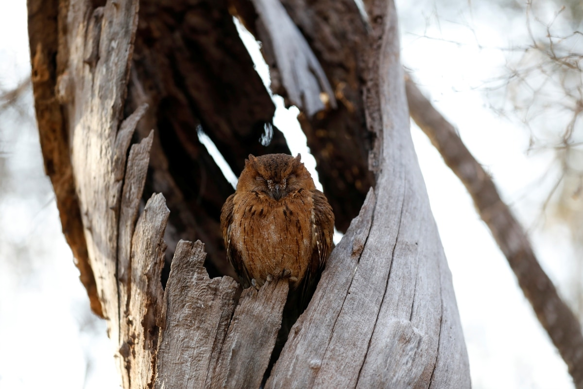 A scops owl sleeps in a tree trunk at the Kirindy forest reserve near the city of Morondava, Madagascar, September 1, 2019. REUTERS/Baz Ratner/Files