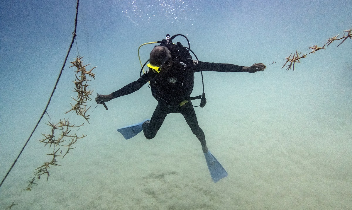 Diver Everton Simpson reaches to tie lines of staghorn coral growing at a coral nursery inside the White River Fish Sanctuary in Ocho Rios, Jamaica. Simpson kicks up some sand as he harvests some of the precious crop to be transplanted in a protected area. The current propels him back and forth, making the delicate process seem akin to trying to thread a needle on a roller coaster. (AP Photo/David J. Phillip)