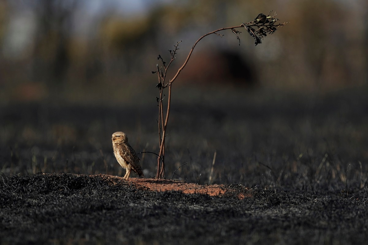 An owl stands after a fire in the savanna near the neighbourhood Jardim Mangueiral, near Brasilia, Brazil. Brasilia, which is in the heart of the Brazilian savanna, is in the midst of its driest period, as temperatures have risen in the last few days, experts said. (AP Photo/Eraldo Peres)