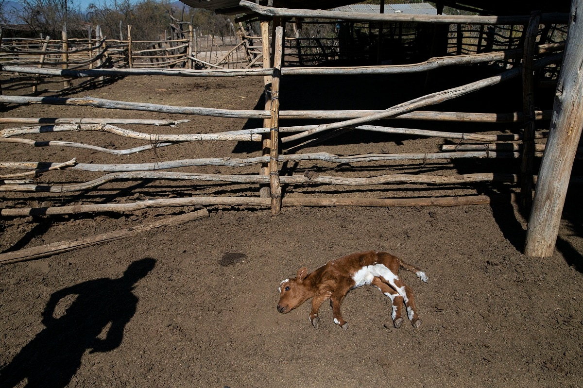 Fredy Moreno watches a dying calf affected by Chile's worst drought in more than half a century, on the ranch of Alfredo Estay in Putaendo. Estay has been left with just 80 cows and a handful of calves out of the 180 he had before the drought bit.