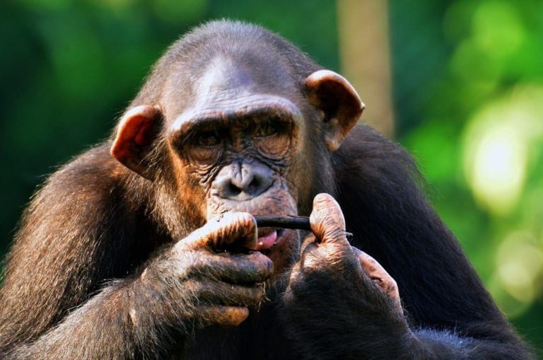 ED issues order to 'attach' 3 chimpanzees in case against alleged wildlife smuggler